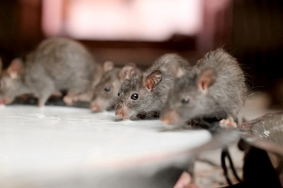 Homes Should Be A Place Only For Families, Friends, And Pets. There Should  Be No Room For Pests Such As Roof Rats. These Dark Brown To Black Rodents  Tend To ...