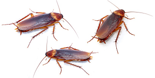 Cockroach Infestations